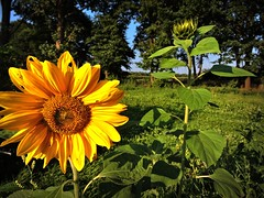 Kleine Sonne in der Wildnis. (Wallus2010) Tags: wiese nikon p600