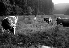 France 1971 (Dave Glass, Photographer) Tags: france eu lorraineprovence ruralfrance cows cattle 1970s kodakplusx minoltasr2 europeanunion europe