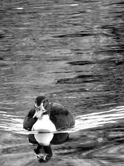 duck (gerben more) Tags: duck water bird waterbird lake nederland netherlands nature blackwhite monochrome