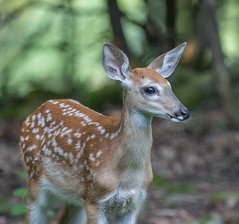 Fawn    1Z9A6049 (DCLbyrdnyrd) Tags: fawn whitetailed deer