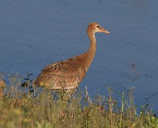 Grue du Canada juvénile - Sandhill Crane