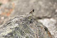 Dark-eyed Junco (tylerhuestis) Tags: banff banffnationalpark alberta canada canada150 lakemoraine