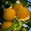 20170725_8722_EOS M-22 Lemons (206/365) (johnstewartnz) Tags: 206365 day206 project365 365project canon canonapsc apsc eos eosm evil tlp 22mmstm 22mm efm22mmf2stm lemon lemons yellow fruit 100 100canon unlimitedphotos