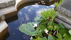 20170712 wlk frm Thieves Wood_0047 Newstead Abbey~Water Lillies (paul_slp5252) Tags: nottinghamshire newsteadabbeyandpriory waterlillies