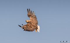 Havørn-0614 (jarud) Tags: 2017 eagle fugl havørn naturopplevelser norge norway smøla whitetailed ørn
