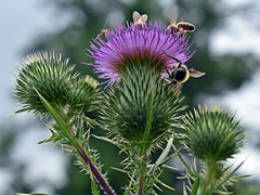 Meeting Place-HSS! (✿☼Sunshine & Warmer Temps☼✿) Tags: sliderssunday bugs bees hoverfly thistle purple prickly large inthefrontyard