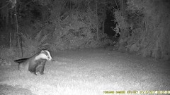 TrailCam359 (ohange2008) Tags: essexgarden trailcam july dogfood peanuts badgers fox