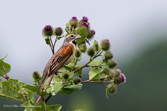 Dickcissel © (Rodolfo Quinio) Tags: dickcissel dickcisselmale nikond500 nikonafs500mmf4gedvr nikontc14eii sykesvillemd howardcounty bird songbird nature wildlife 150