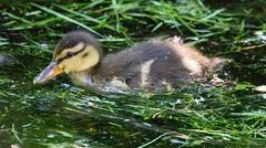 2U7A2296 (rpealit) Tags: scenery wildlife nature east hatchery alumni field mallard duck ducklings bird