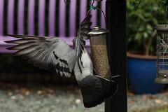 A little to the left ... (Graham Dash) Tags: birds feralpigeons pigeons