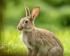 Wild Rabbit (Oryctolagus cuniculus) (.Hogan.) Tags: 300mmf4 dumfriesgalloway sandyhills scotland animal animals d500 nature nikon rabbit uk wild wildlife