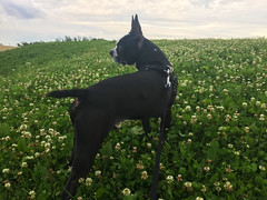 Bully in his new-found hill by Ottawa Trainyards (lezumbalaberenjena) Tags: ottawa 2017 perro dog chien bully boston terrier