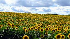 Tournesols en folie.... (LILI 296...) Tags: tournesols jaune canonpowershotg7x campagne gers france midipyrénées nature été summer yellow