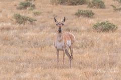 Pretty Pronghorn doe