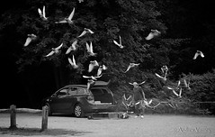 197/365 The Release (andrew.varney) Tags: birds blackandwhite nikon blackwhite monochrome animals man hobby pigeons hindhead surrey 365 d5100 pets