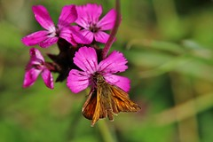Skipper (Hugo von Schreck) Tags: hugovonschreck butterfly falter skipper macro makro insect insekt schmetterling canoneos5dsr tamron28300mmf3563divcpzda010 yourbestoftoday fantasticnature