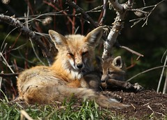 Momma fox and one of her kits... (Guy Lichter Photography - 3.5M views Thank you) Tags: canon 5d3 canada manitoba wildlife animals mammal mammals fox redfox female kit