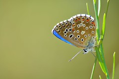 lysandra bellargus-Macho (jotneb) Tags: natureza animais insectos vidaselvagem lepidoptera borboletas butterfly arlivre