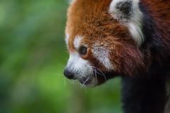 Pandaportrait (Reiner Grasses) Tags: panda kleiner zoo duisburg