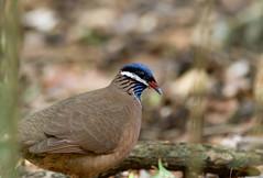 Blue-headed Quail-Dove _ Starnoenas cyanocephala (Kremlken) Tags: quaildoves doves vulnerable endangeredspecies cuban birds birding endemics neotropical