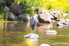 2U7A2408 (rpealit) Tags: scenery wildlife nature east hatchery alumni field great blue heron bird