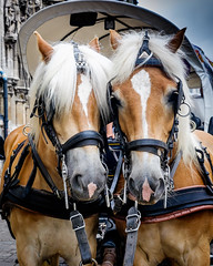 Two Heads are Better Than One. (James- Burke) Tags: ghent belgium horses street streetcolour candid animals fuji 27mm twins two doubles mirrored attractive appealing ponys horsesandcarriage palaminos