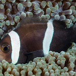 Saddleback Anemonefish - Amphiprion polymnus thumbnail