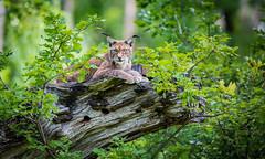 Majestic Lynx (ラルフ - Ralf RKLFoto) Tags: badmergentheim fotografie location outdoor wildpark animal wwwwildtierparkde cat lynx luchs