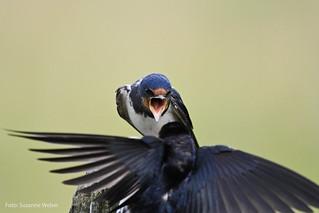 Swallow - Rauchschwalbe wird angegriffen