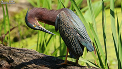 Camera shy (Shannon Rose O'Shea) Tags: shannonroseoshea shannonosheawildlifephotography shannonoshea shannon greenheron heron bird beak yelloweye wings log leaves green colorful shy camerashy wildwoodlake harrisburg pennsylvania nature wildlife waterfowl butoridesvirescens canon canoneos80d canon80d eos80d 80d canon100400mm14556lisiiusm flickr wwwflickrcomphotosshannonroseoshea art wild wildlifephotography photo photography