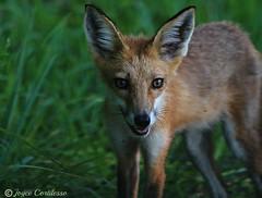 Mischievous Red Fox (Purple Fox Pics) Tags: outdoors delaware bombayhook bombay bombayhooknationalwildliferefuge wildlife nature fox kit redfox joycecortilesso