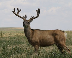 Mule Deer Buck In Velvet (fethers1) Tags: rockymountainarsenalnwr rmanwr rmanwrwildlife coloradowildlife deer muledeer muledeerbuck