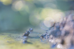 Contemplation (Fernando.P.Photo) Tags: proxy nature amphibien toad faune crapaud sonneur jaune bombina bokeh