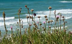 Strandnelken (gutlaunefotos ☮) Tags: strandnelken nordseeküste grün meer gras