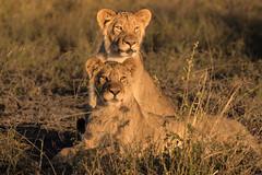 Lion Cubs, La Roo La Tau, Botswana (donnatopham) Tags: botswana laroolatau lions