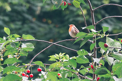 On the lookout (Ady Holt) Tags: robin bird wildlife tree cherry