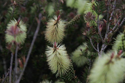 A Bottle Brush bush on Jura!!!