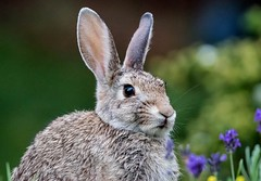 Mr. Rabbit (Kerstin Winters Photography) Tags: backyardanimals flickrnature flickr nahaufnahme closeup sigma nikon nikondigital nikondsl natur nature naturephotography naturfotografie fauna tier animal hase rabbit