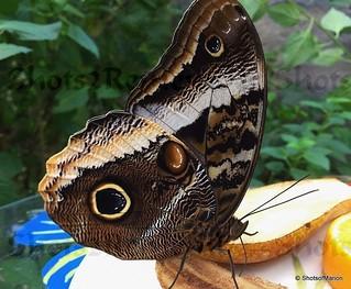 Close Up of the Butterfly Caligo Atreus / Close Up van de Vlinder Caligo Atreus