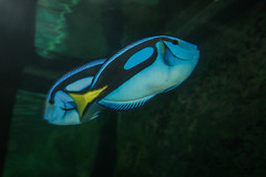Finding Dory (Josué Godoy) Tags: finding dory australia fish blue tang