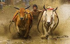 Explosion (brusca) Tags: beautifulworld bulls exploreasia exploreindonesia indonesia mysumatra pacujawi padang photography sumatra travel visitsumatra westsumatra wonderfulindonesia