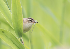 Sedge Warbler with dragonfly (ToriAndrewsPhotography) Tags: sedge warbler reeds dragonfly eating photography andrews tori