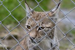 Longing for freedom ? (Rind Photo) Tags: travel predator lynx los fence border capture bigcat wild nature nikkor nikondf rindphoto clauschristoffersen mind animal