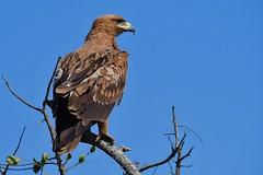 majestic Tawny Eagle (cirdantravels (Fons Buts)) Tags: raptor eagle arend adler aigle aquila aquilarapax rapace birdofprey sunrays5