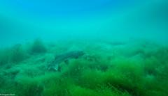 ASM Plongée, Brochet, Gravière du Fort - Site 4670.jpg (Hugues Brun) Tags: asmplongée site plongée gravièredufort animaux poissons brochet themes