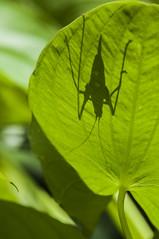 Hide and seek :-) (gelein.zaamslag) Tags: nature natuur green sprinkhaan grasshopper geleinjansen shadow