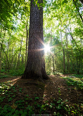 Light the Forest. (laurilehtophotography) Tags: big tree forest morning sunray sun summer suomi finland jyväskylä nature green europe amazing earth discover world shadow grass nikon d610 samyang 14mm