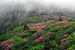 Rhododendron Hells (snapdragginphoto) Tags: