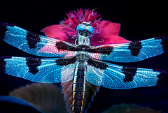 Dragon Mosaic (Don Komarechka) Tags: dragonfly uv uvivf fluorescent fluorescing insect wings glowing blue beebalm macro trioplan100 nature twelvespottedskimmer