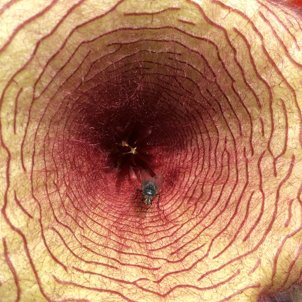the world 39 s best photos of stapelia flickr hive mind. Black Bedroom Furniture Sets. Home Design Ideas